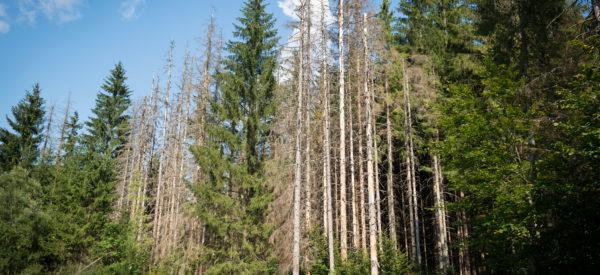 Alberta Mountain Pine Beetle Project